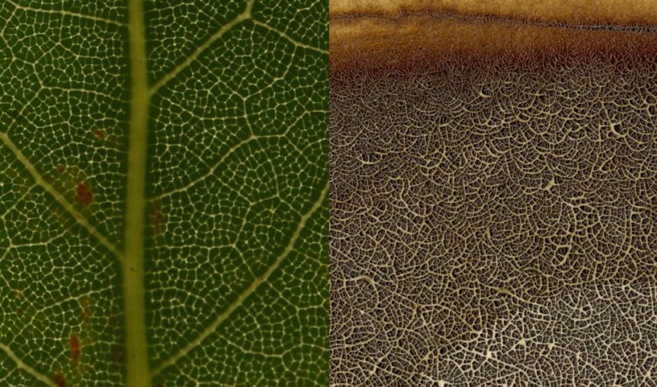 leafoak_comparison